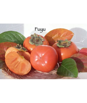 Fruit Persimmon Fuyu (Jiro)