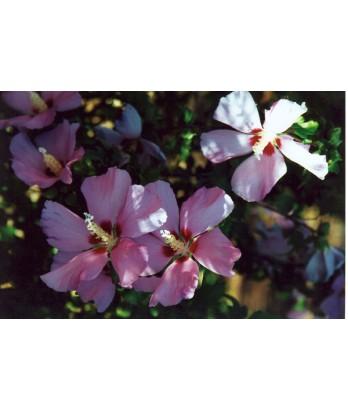 Hibiscus syriacus 'Aphrodite' STD