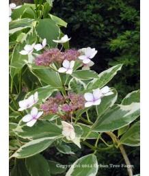 Hydrangea macrophylla 'Mariseii/Varigata'