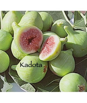 Fruit Fig Kadota