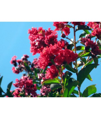Lagerstroemia indica 'Red Rocket'