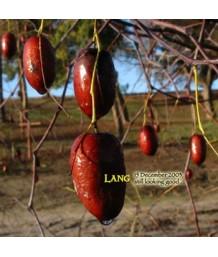 Fruit Jujube Lang
