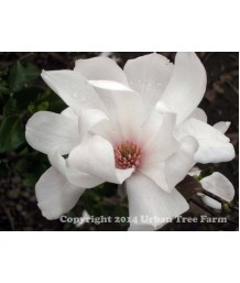 Magnolia loeb. Dr. Merrill