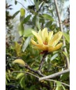 Magnolia x 'Butterfly'