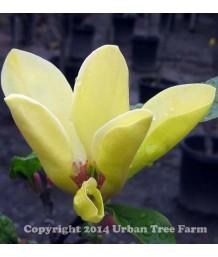 Magnolia x 'Sunburst'