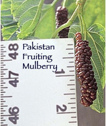 Fruit Mulberry Pakistan