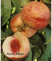 Fruit Nectarine Arctic Blaze