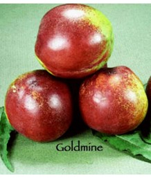 Fruit Nectarine Goldmine White