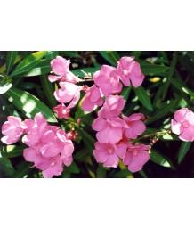 Nerium o. Pink