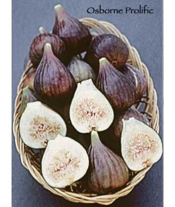 Fruit Fig Osborne Prolific
