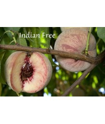 Fruit Peach Indian Free