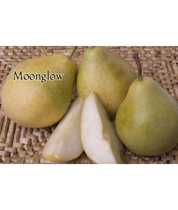 Fruit Pear Moonglow