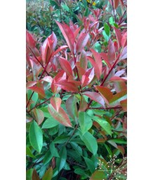 Photinia fraseri (Bush)