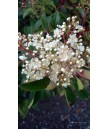 Photinia fraseri BUSH