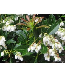 Pieris japonica 'Temple Bell'
