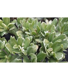Pittosporum tob varigated