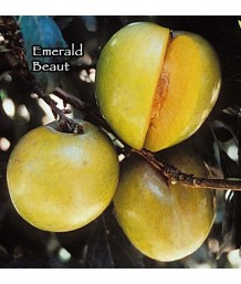 Fruit Plum Emerald Beauty