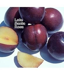 Fruit Plum Santa Rosa LATE