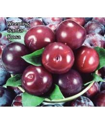 Fruit Plum Santa Rosa Weeping