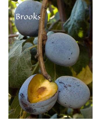 Fruit Prune Brooks