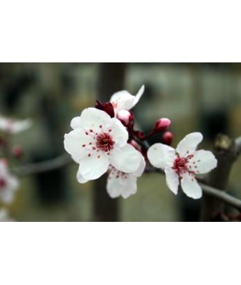 Prunus c. Krauter Vesuvius