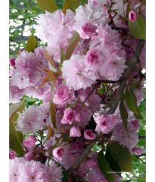 Prunus ser. Kwanzan