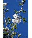 Prunus serrulata 'Mt. Fuji /Shirotae'