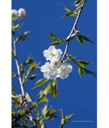 Prunus serrulata 'Mt. Fuji/Shirotae'