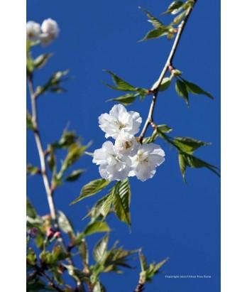 Prunus ser. Mt. Fuji /Shirotae