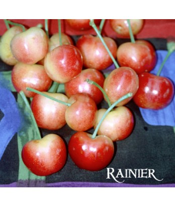Fruit Cherry Raineer