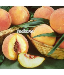 Fruit Peach Redhaven