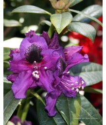 Rhododendron 'Edith Bosley'