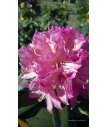 Rhododendron 'Vernus'