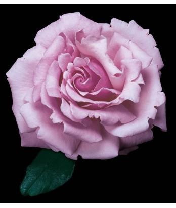 Rosa 'Memorial Day'