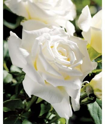 Rosa 'Pope John Paul II' STD