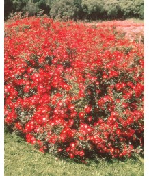Rosa 'Meidiland Red'