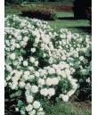 Rosa 'Meidiland White'