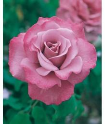 Rosa 'Angel Face'