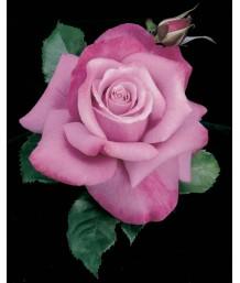 Rosa 'Barbra Streisand'