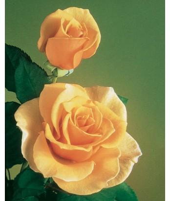 Rosa 'Brandy' STD