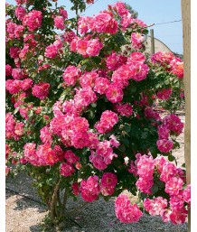 Rosa 'Candy Land' CL