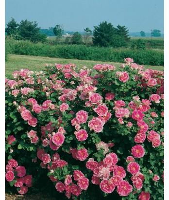 Rosa 'Carefree Wonder'