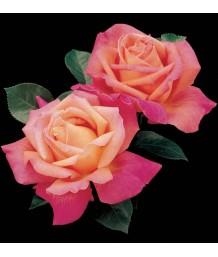 Rosa 'Chicago Peace'