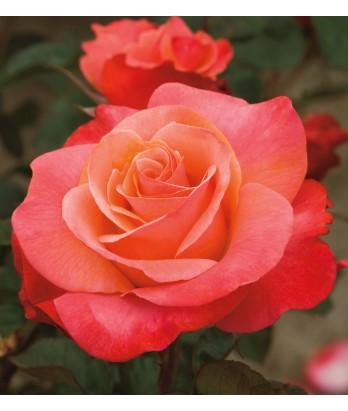 Rosa 'Colorific' STD