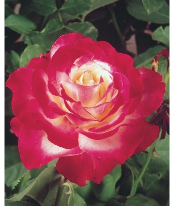 Rosa 'Double Delight' STD