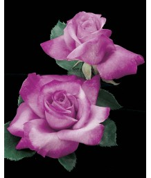Rosa 'Fragrant Plum'