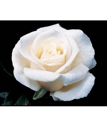 Rosa 'Full Sail'