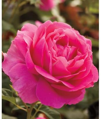 Rosa 'Grande Dame'