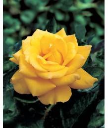 Rosa Henry Fonda