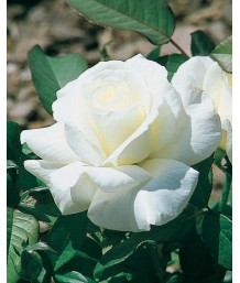 Rosa 'Honor'